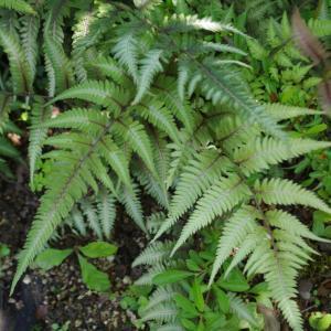 手がかからない、そして次第に人気ガーデナーさんのようなお庭に変身する植物って...?皆様の不安を解決致します。シャドーガーデンがやっぱりカッコいいの巻!!