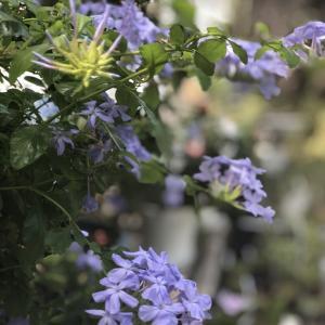 まだまだ暑い季節にすずしげな花色が魅力~♪