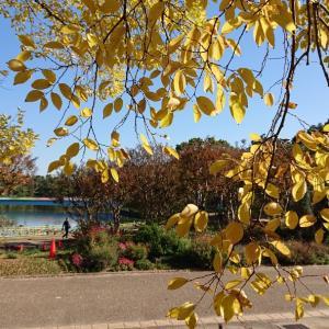 紅葉が見頃!長居公園