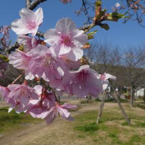 河津桜が満開になったよ! 長居公園