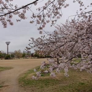 長居公園のソメイヨシノは八分咲き