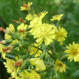 長居公園の春の野草たち!ホトケノザ、キンポウゲ、ヨモギ、タンポポ・・・