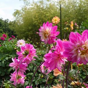 ダリアと薔薇と花菖蒲!長居植物園