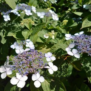 紫陽花(アジサイ)が咲き始めた長居植物園!花菖蒲は満開!