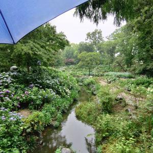 紫陽花アジサイ!小雨が降ったりやんだりの長居植物園