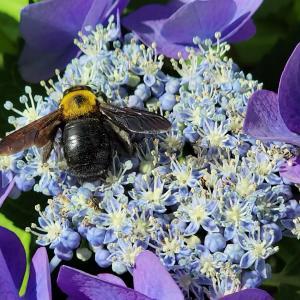 クマバチ見つけたよ!住吉公園