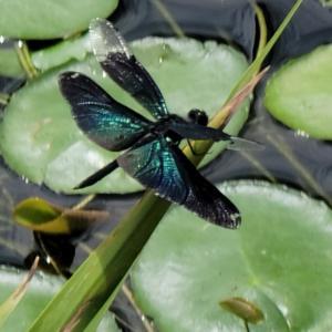 猛暑の大池と小池の風景!チョウトンボを撮ったよ!