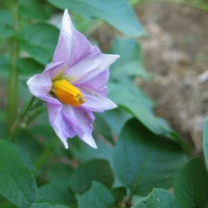 デストロイヤー(Destroyer,グラウンドペチカ)の花