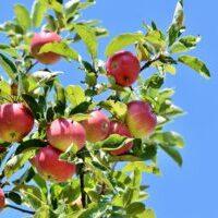 リンゴ 「知恵」や「豊かさ」の象徴