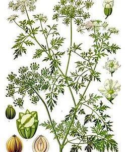 Aethusa cynapium(Aeth./イズーサ  ドッグパセリ)
