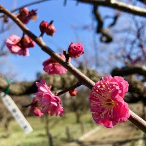 今年も「梅」から花見ジョギング!   2020.1.19