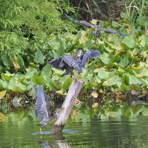 1本の杭に群がるササゴイの幼鳥