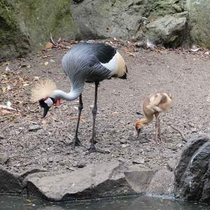 子育てをするホオジロカンムリヅル