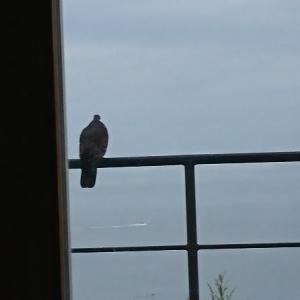 仲のいい鳩