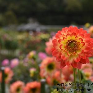 今日が誕生日。32歳の最初は、兵庫県川西市の黒川ダリヤ園へ散策ぶらり旅