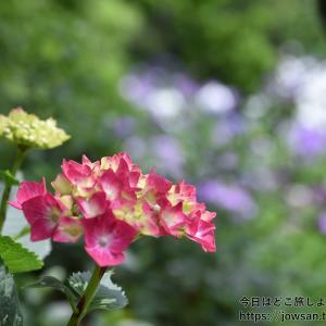 京都の梅宮大社の神苑へ「睡蓮・花菖蒲・山紫陽花」を見に散策ぶらり旅