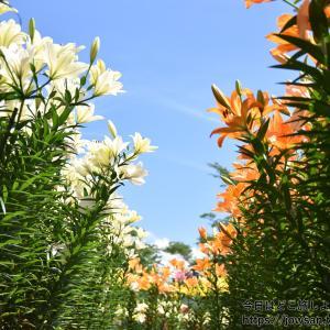篠山玉水ゆり園へ10万本の色とりどりのユリ・あじさいを見に散策ぶらり旅