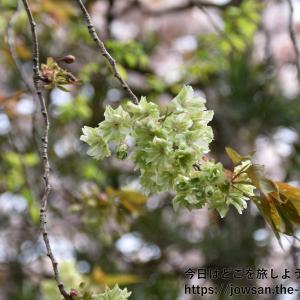 京都の洛中「雨宝院」から洛西「龍安寺・仁和寺」へ桜の名所巡り散策ぶらり旅