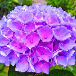 「紫陽花」は勘違い❔