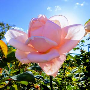 下水処理場の薔薇の花