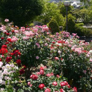 バラを見に福山までドライブ