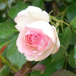 母の日にバラが咲いた!