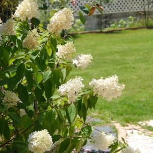アジサイ「スイートサマー」今年は綺麗に咲いています。
