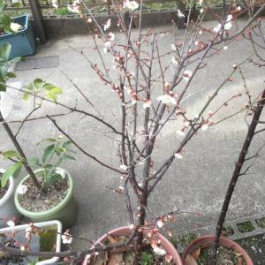 梅は~、咲い~た~かぁ~♪