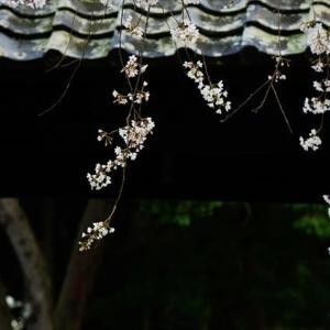 豊川三明寺の枝垂れ桜