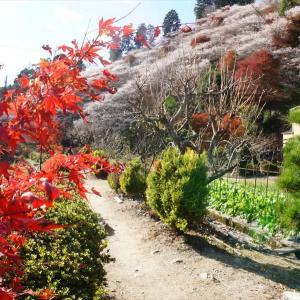 豊田市小原四季桜を見て来た