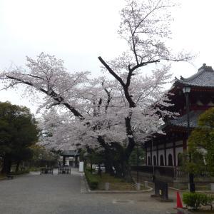 やっと見られた桜。