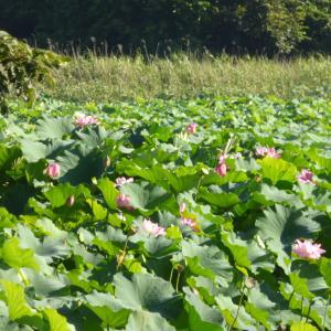 【ちょっと早起き】多々良沼の蓮の花見てきました。
