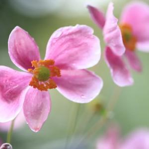 雨に踊る・・秋明菊
