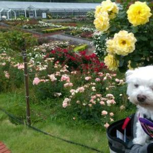 バラを見に行ったよ ☆島田市ばらの丘公園