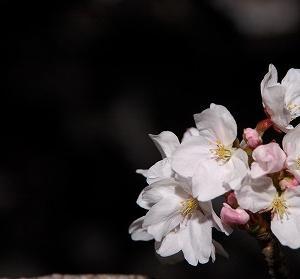 桜の開花に気がつかなくて(再掲載)