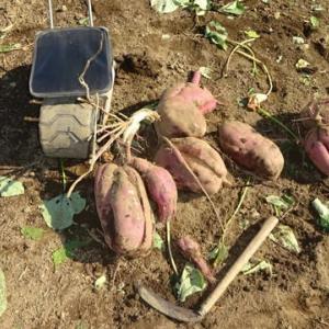 大根の初収穫