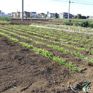 麦踏みと大豆の収穫量