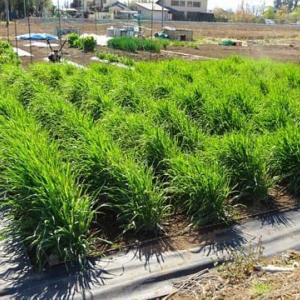 六条大麦の出穂
