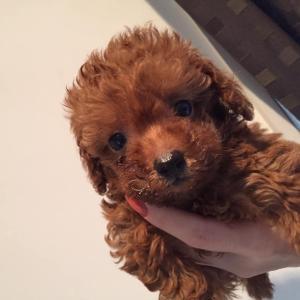 トイプードル子犬見学できます/東京都荒川区町屋