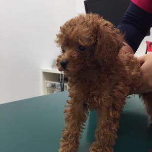 【今週末の子犬見学できます】トイプードル生後2ヶ月・ワクチン接種してきました。