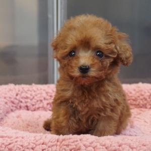 〈動画掲載〉生後2ヶ月のトイプードル子犬をお探しの方へご案内です/トイプードル専門店・東京・荒川区