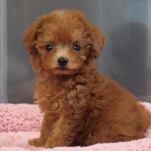 【movie】生後2ヶ月・トイプーレッドの女の子・見学できます/東京都・専門ブリーダーの子犬