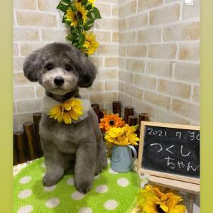 トイプードル専門ブリーダーの子犬紹介/シルバー・レッド4頭の子犬見学できます。