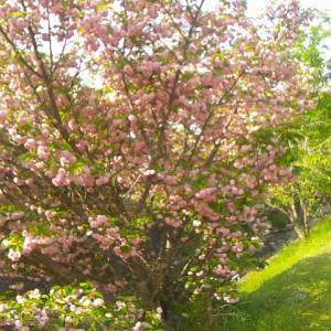 まだ桜が咲いています @ 北区