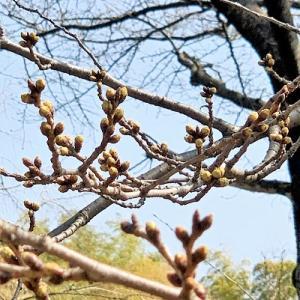 桜並木 と おうちごはん