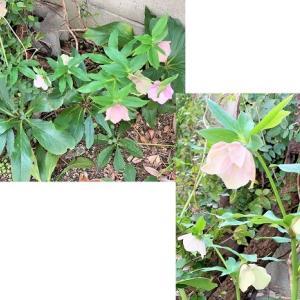 庭の花.。*゚・*:.。.:+ と おうちごはん