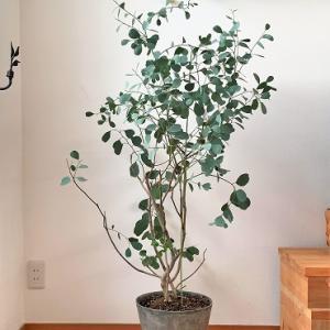 『ユーカリ カンフォラ』の植木鉢♪