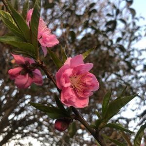 吉兆の桃の花