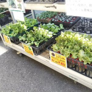野菜苗の販売が始まりました