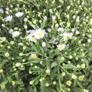 秋のガーデニングにオススメな花